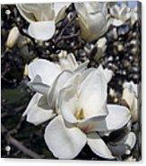 Yulan Magnolia  4753 Acrylic Print