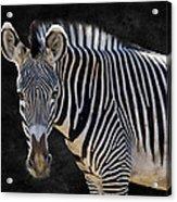 Z Is For Zebra Acrylic Print