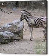 Zebra And Rock Acrylic Print