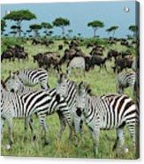 Zebra And Wildebeest Grazing Masai Mara Acrylic Print