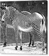 Zebra Black And White Acrylic Print