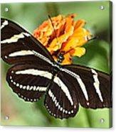 Zebra Butterfly Beauty 1 Acrylic Print