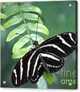 Zebra Butterfly Acrylic Print