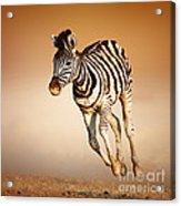 Zebra Calf Running Acrylic Print