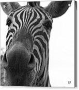 Zebra Close-up Acrylic Print