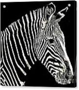 Zebra Faa Contest Acrylic Print