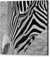 Zebra Face Acrylic Print