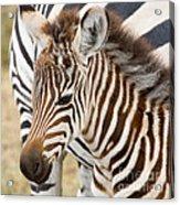 Zebra Foal Acrylic Print