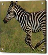 Zebra Foal Running For Joy Acrylic Print