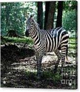 Zebra Forest 2 Acrylic Print