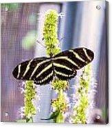 Zebra II Acrylic Print