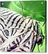 Zebra Long-wing Close-up Acrylic Print