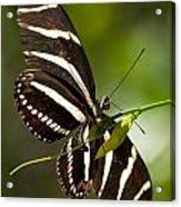 Zebra Longwing 3 Acrylic Print