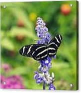Zebra Longwing Acrylic Print by Laurie Perry