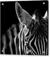 Portrait Of Zebra In Black And White Acrylic Print