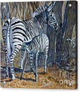 Zebra Mother And Foal Acrylic Print
