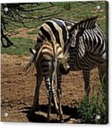 Zebra Mother And Foal Acrylic Print by Graham Palmer