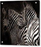 Zebra Night Acrylic Print
