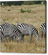 Zebra On Masai Mara Plains Acrylic Print