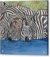 Zebra Pool Acrylic Print