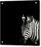 Zebra Portrait In Black Background Acrylic Print