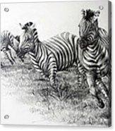 Zebra Running Acrylic Print