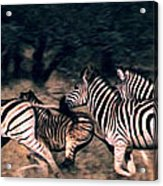 Zebra Stampede Acrylic Print