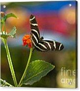Zebra Striped Butterflies Acrylic Print by Cari Gesch