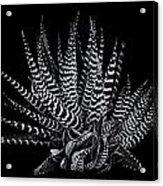 Zebra Succulent Acrylic Print