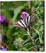 Zebra Swallowtail Butterfly In Garden Acrylic Print