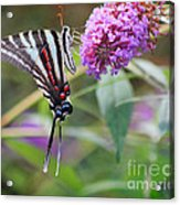 Zebra Swallowtail Butterfly On Butterfly Bush  Acrylic Print