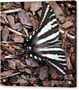 Zebra Swallowtail Butterfly Square Acrylic Print