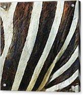 Zebra Texture Acrylic Print by Ayse Deniz