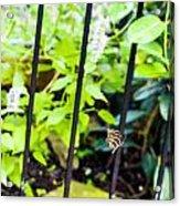 Zebra V Acrylic Print