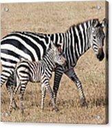Zebra With Young Foal, Masai Mara Acrylic Print