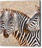 Zebras 5236b Acrylic Print