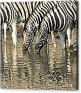 Zebras At Water Hole Acrylic Print