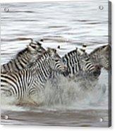 Zebras Crossing The Mara River Acrylic Print