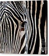 Zebras Face To Face Acrylic Print