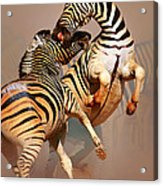 Zebras Fighting Acrylic Print