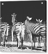 Zebras From Behind Acrylic Print
