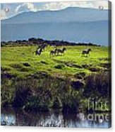 Zebras On Green Grassy Hill. Ngorongoro. Tanzania Acrylic Print