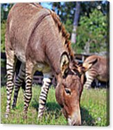 Zedonk Or Zebroid Acrylic Print