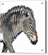 Zephyrus Zebra IIi Acrylic Print