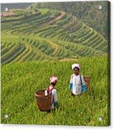 Zhuang Minority Women Walk Through Rice Acrylic Print