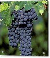 Zinfandel Wine Grape Clusters Acrylic Print