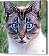 Zing The Cat Looking At Us Acrylic Print