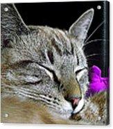 Zing The Cat Sleeping Acrylic Print