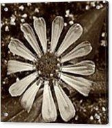 Zinnia Monochrome Acrylic Print