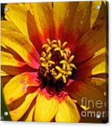Zinnia Named Swizzle Scarlet And Yellow Acrylic Print